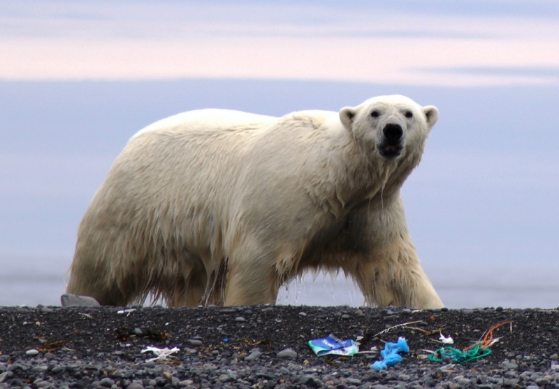 Polar bear on littered beach. Photo by Ilja Leo Lang AECO
