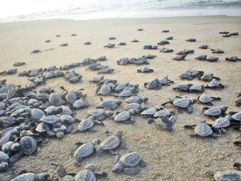 It's Sea Turtle Hatching Season in Acapulco