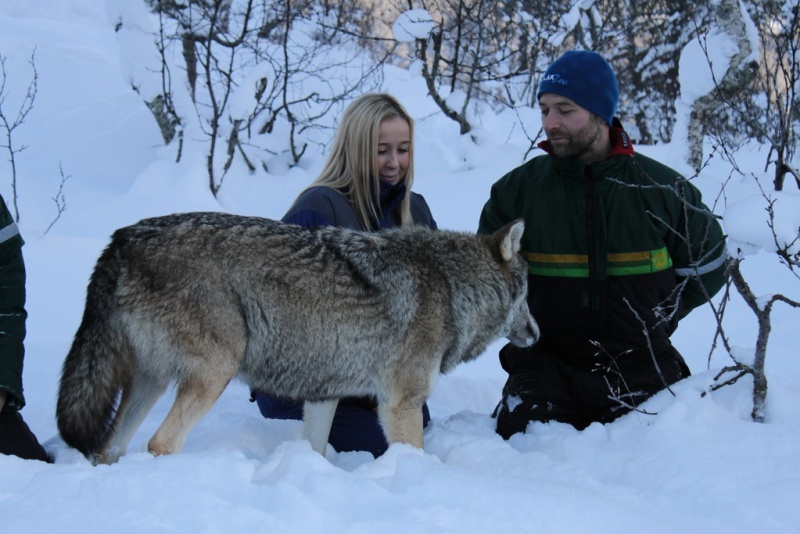 Up close and personal with a wolf in Narvik.