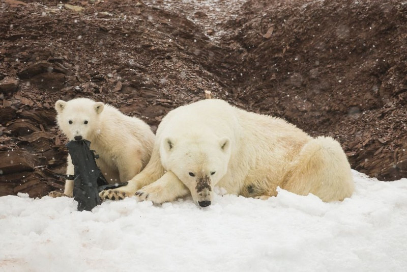 Polar bears and plastic. Photo by Kevin Morgans